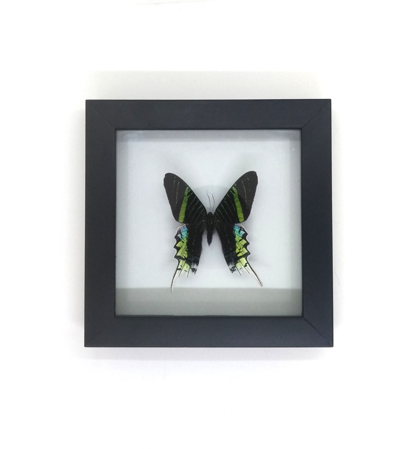 Cuadro Decorativo Mariposa Disecada Natural Zoocriadero Taxidermia